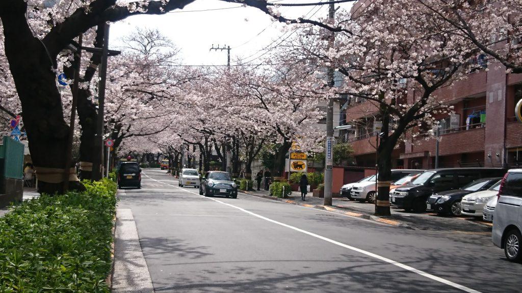 かむろ坂の桜2