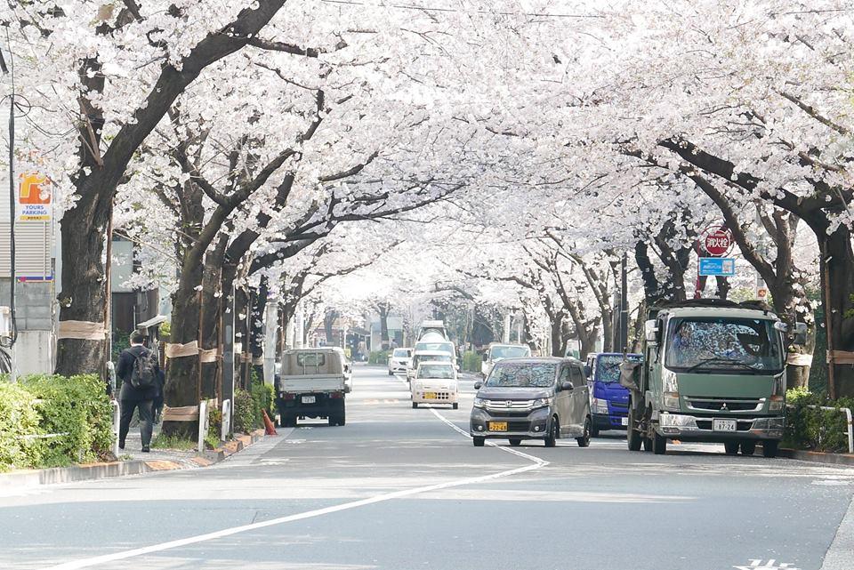 かむろ坂の桜