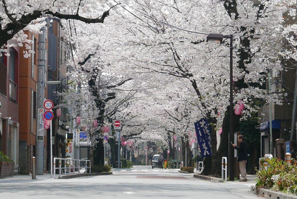 立会道路・西小山付近の桜並木